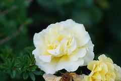 Rosenblüte II