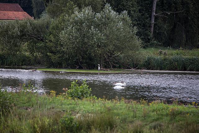 20150910 8701VRTw [D~PB] Graureiher, Höckerschwan, Steinhorster Becken, Delbrück