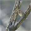 Perched Reed Bunting