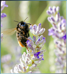 Hummel am Lavendel. Bumblebee on the lavender. ©UdoSm
