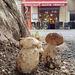 Un troupeau de cèpes sauvages trouvés en plein centre ville de Bordeaux