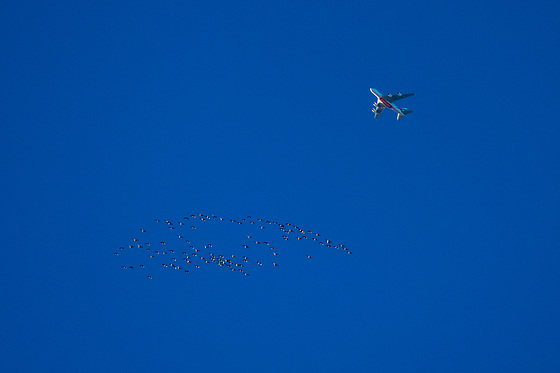 Pink Footed Geese and the A380