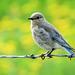 Mountain Bluebird female / Sialia currucoides