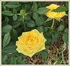 **  Ces roses pour vous mes amies (is )