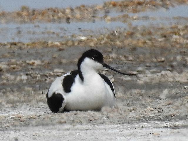 20170517 1497CPw [A] Säbelschnäbler (Recurvirostra avosetta), Neusiedler See