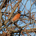The ubiquitous American Robin, Pt Pelee