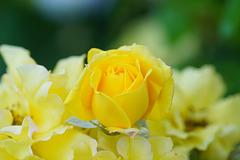 Knospige Rose