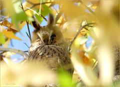 Long-eared owl ~ Ransuil (Asio otus)...