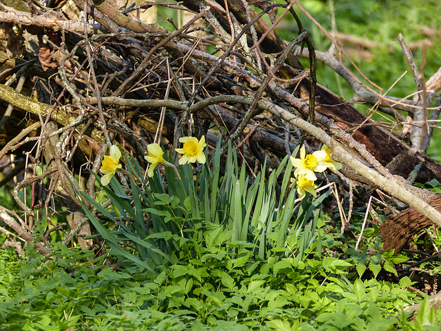Daffodils growing wild, Pt Pelee
