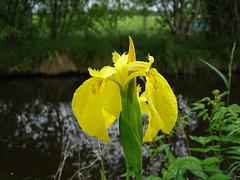 Iris pseudacorus.  Yellow flag iris
