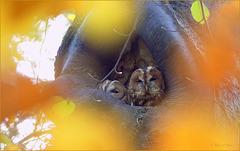 Tawny Owls ~ Familie Bosuil (Strix aluco)...