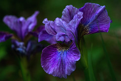 The Late Irises