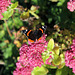 butterfly- red admiral