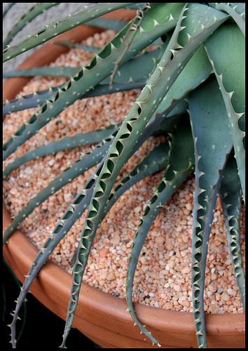 Aloe (2)