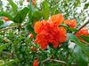 Grenadier fleurs