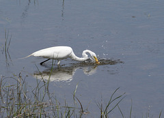 9/50 grande aigrette-great egret