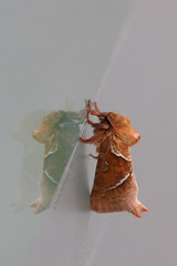 Interessantes Insekt - Ampfer-Wurzelbohrer
