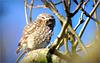 Little owl ~ Steenuil (Athene vidalii)...