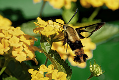 Clearwing moth.  6298583