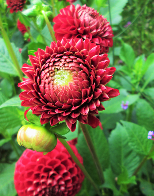 Dahlias, Great Dixter.
