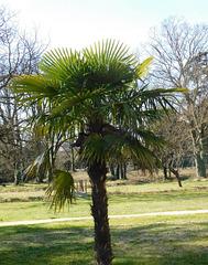 Dans le parc..Un palmier trachycarpus