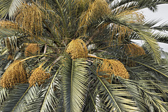 Out on a Date Palm – Baha'i Gardens, Haifa, Israel