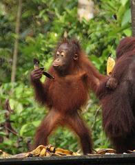 A young orang utang inspects a banana skin
