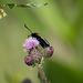 Six-spot Burnrt moth