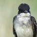 Eastern Kingbird / Tyrannus tyrannus
