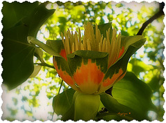 Tulipier de Virginie ..........!