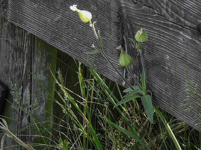 20170517 1522CPw [A] Leimkraut (Silene vulgaris), Neusiedler See