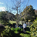 crab apple tree: before