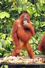 A young orang utang poses for the camera