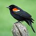 Red-winged Blackbird male / Agelaius phoeniceus