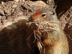 Columbian Ground Squirrel collecting nest material
