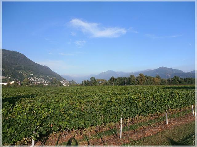 Weinanbau bei Tenero-Contra (Schweiz)