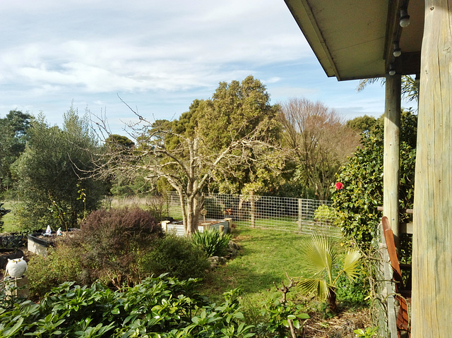 crab apple tree: after