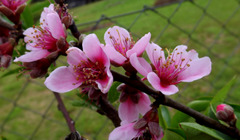 Floranta persikarbo!