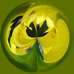 Polar co-ordinates of a yellow flag iris