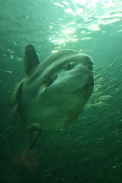 Mondfisch - sunfish