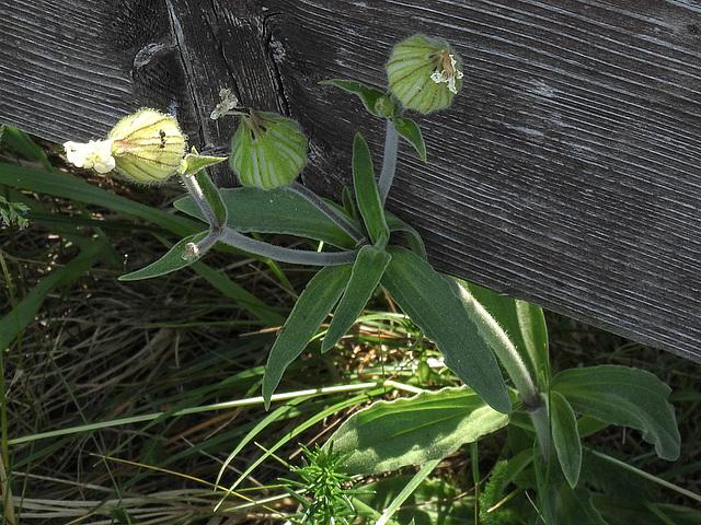20170517 1524CPw [A] Leimkraut (Silene vulgaris), Neusiedler See