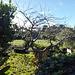 ornamental cherry tree: before