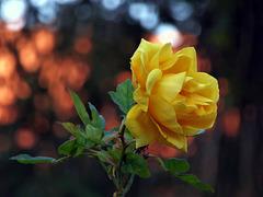 rosa di febbraio
