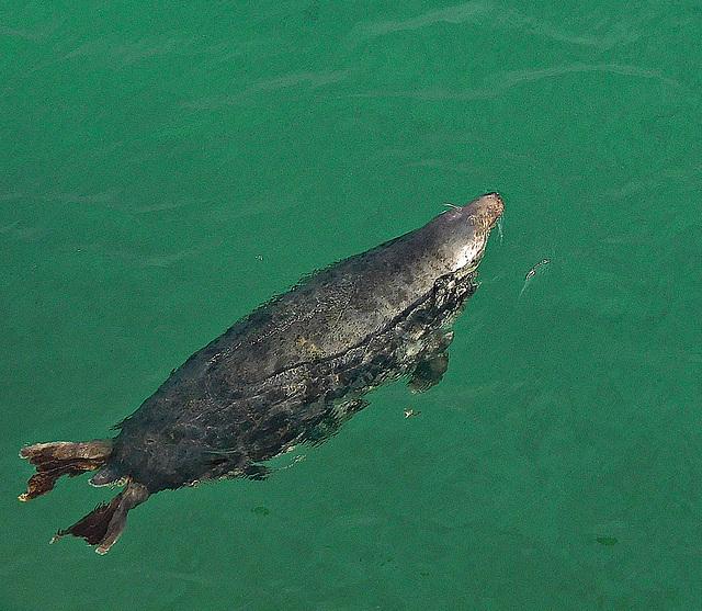 Sea(lion) swimming