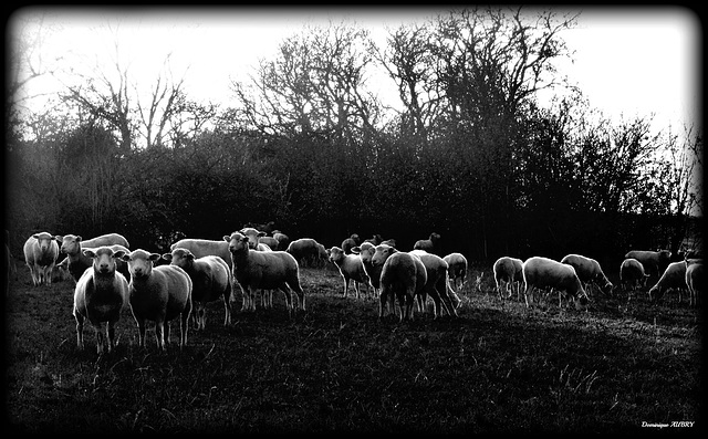 moutons du soir: bonsoir!