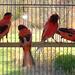 DSC00429 (2) (1)canaris noir et rouge