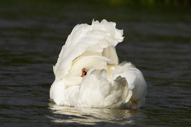 Mute Swan   /   Oct 2013