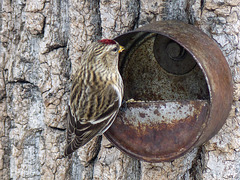 Common Redpoll in the forest
