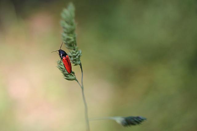 Blutroter Schnellkäfer - Ampedus sanguineus