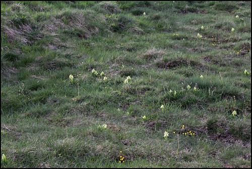 Orchis sureau (2)